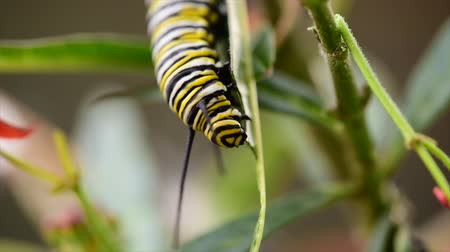 hernyó : Monarch caterpillar eating on milkweed in macro shot