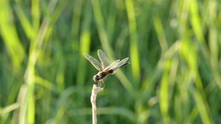 kamış : A dragonfly holds unto a reed on a windy day