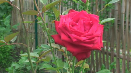 estigma : big red rose growing and blowing with the wind Vídeos