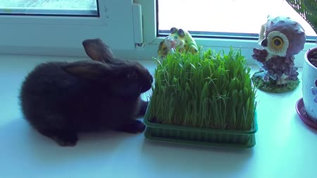 chmýří : Little rabbit eats grass