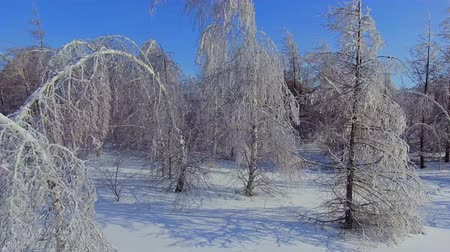 snowy background : The icy branches of birches and firs