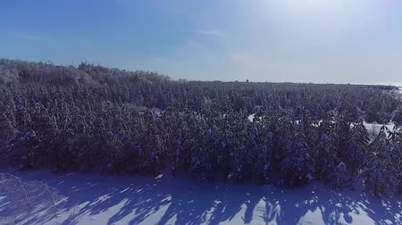 winter tale : The pine forest is covered with ice