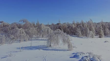 переулок : Birch trees under the weight of snow