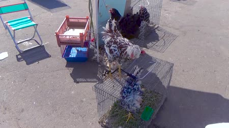 cockfighting : Beautiful rooster sitting on a cage