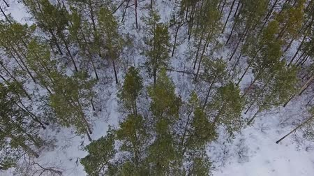 szron : Over the coniferous trees in winter Wideo