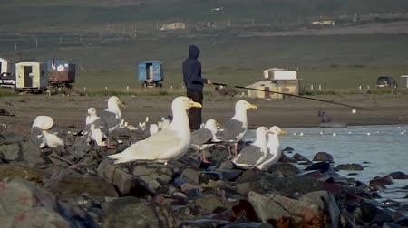 stivali di gomma : Seagulls wait for a catch Filmati Stock