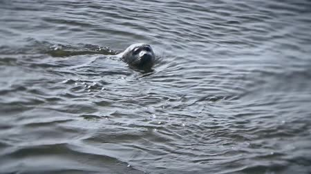 плавники : Seal swims on the waves