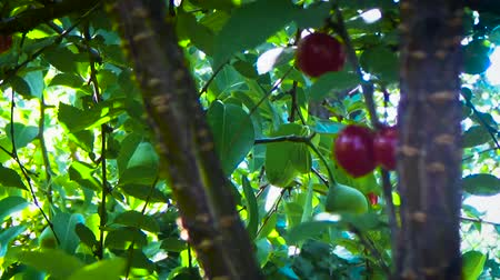 haziran : Many cherries on the tree Stok Video