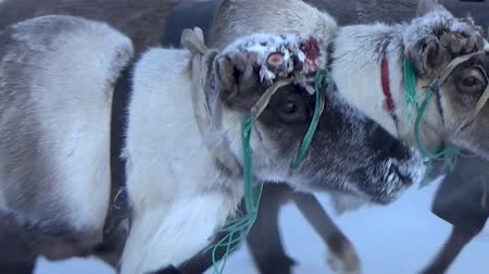 harness : Four reindeer in a team