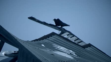 Two crows on the roof