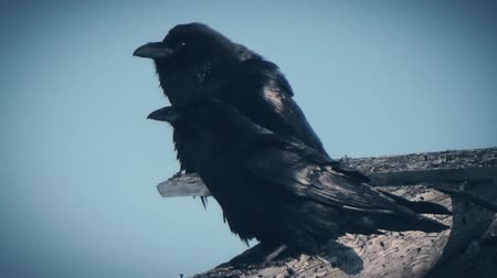 fasteners : Two crows on top of the ruins