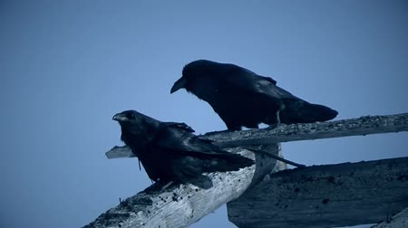 dead wood : Crows on the roof of the destroyed building
