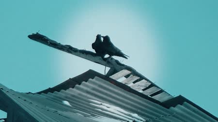 morrer : Crows kissing on the roof