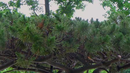 сбор : Coniferous bonsai in the Park