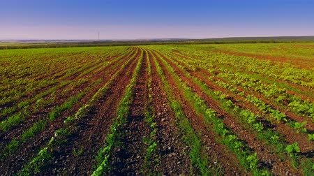 sowing : Smooth rows of plants in the field Stock Footage