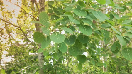 populus : Trembling Aspen Leaves on Windy Day Stock Footage