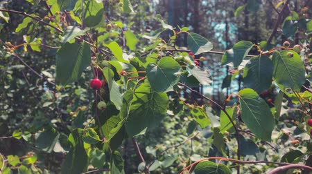 prune : Juneberries on Windy Summer Day