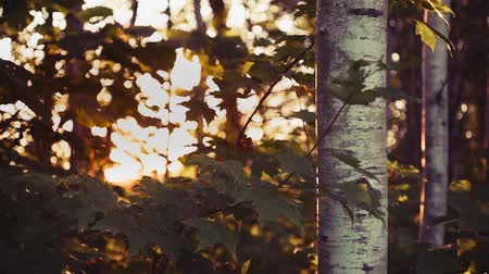 silvicultura : Summer Hardwood Forest at Sunset Stock Footage