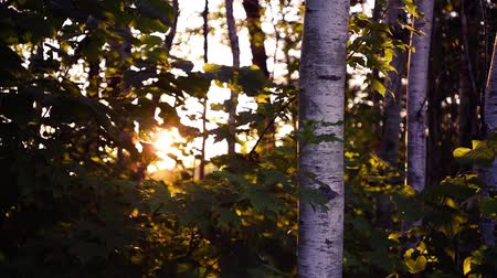 tremuloides : Hardwood Forest During Sunset in Summer
