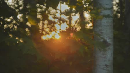 silvicultura : Soft Focus Aspen Forest at Sunset Stock Footage