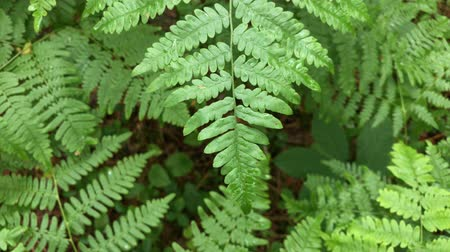 kapradina : Rain Falling on Bracken Fern