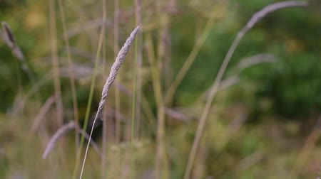 alergia : Late Summer Grasses
