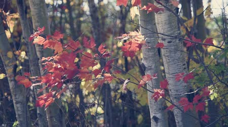 lombhullató : Red Maple and Aspen in Fall