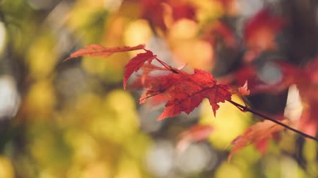 lombhullató : Closeup of Red Maple on Sunny Fall Day