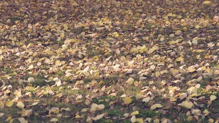 platteland : Wind Moving Aspen Leaves op Lawn