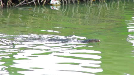 evolução : Clouded monitor lizard swimming, Lumphini park, Bangkok