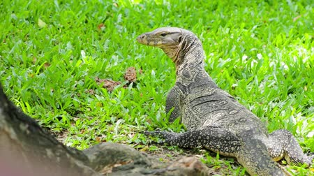 evolução : Clouded monitor lizard basking in sun, Lumphini park, Bangkok Stock Footage