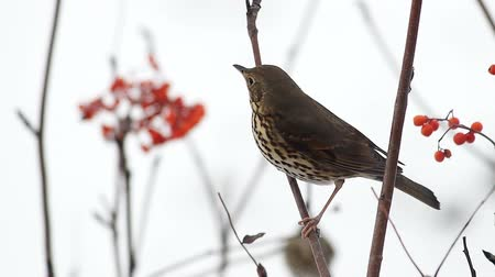 Fieldfare pecking rowanberry ash berries sitting on a branch Stok Video