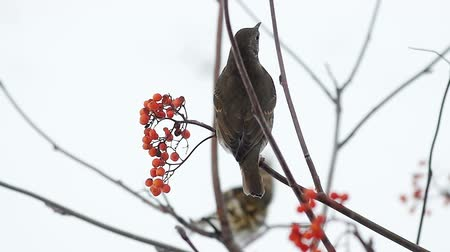 Fieldfare pecking a mountain ash berries sitting on a branch