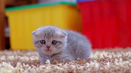Scottish fold kitten lying on the carpet in the room. Little kitty one month old.