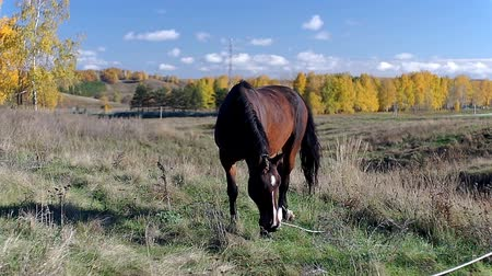 Brown horse with the foal grazing grass in a field Stok Video