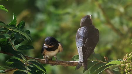 young bird : Two swift birds sitting on a branch of rowan tree