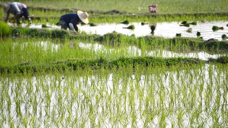 çiftlik : farmer plant rice sprouts in rice farm of thailand