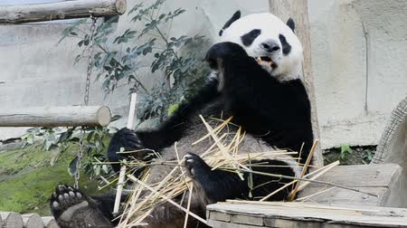 gigante : cute giant panda bear eating bamboo