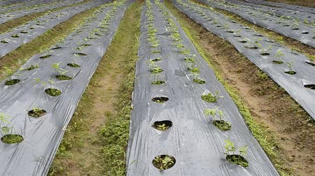 okurka : cucumber plant in countryside farm of thailand Dostupné videozáznamy