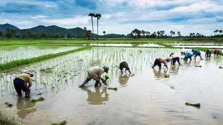 rolnik : time lapse farmer working plant rice in farm of Thailand southeast asia
