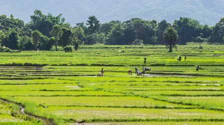 tajlandia : time lapse farmer working plant rice in farm of Thailand southeast asia