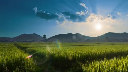 serpenyő : Beautiful Rice Farm In Countryside And The Sun Light