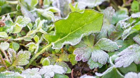 иней : time lapse frost on leaf melting (revert)