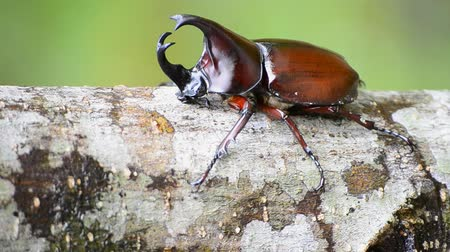 stag beetle : stag beetle on branch Stock Footage