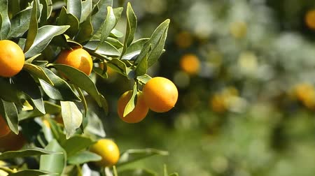 pomarańcza : orange on tree in garden plant