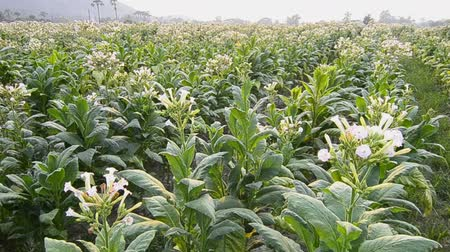 никотин : Tobacco Farm Plant Of Thailand (crane shot) Стоковые видеозаписи