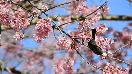 flower : cute little bird eating nectar of cherry blossom tree