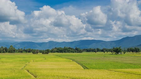üretmek : golden rice farm plant of thailand (time lapse)