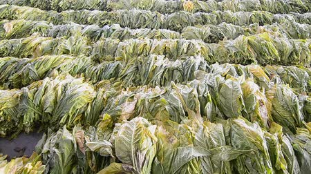 аккуратный : Raw Tobacco Leaf From Farm