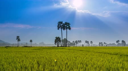 polního : Rice Farm Landscape And Beautiful Sunbeam (4K Time Lapse)